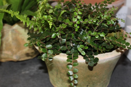 small berkshire planter with button fern
