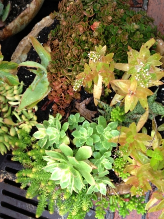 succulents in cementitious planters