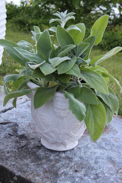 morgan pot with lambs ear - great textures