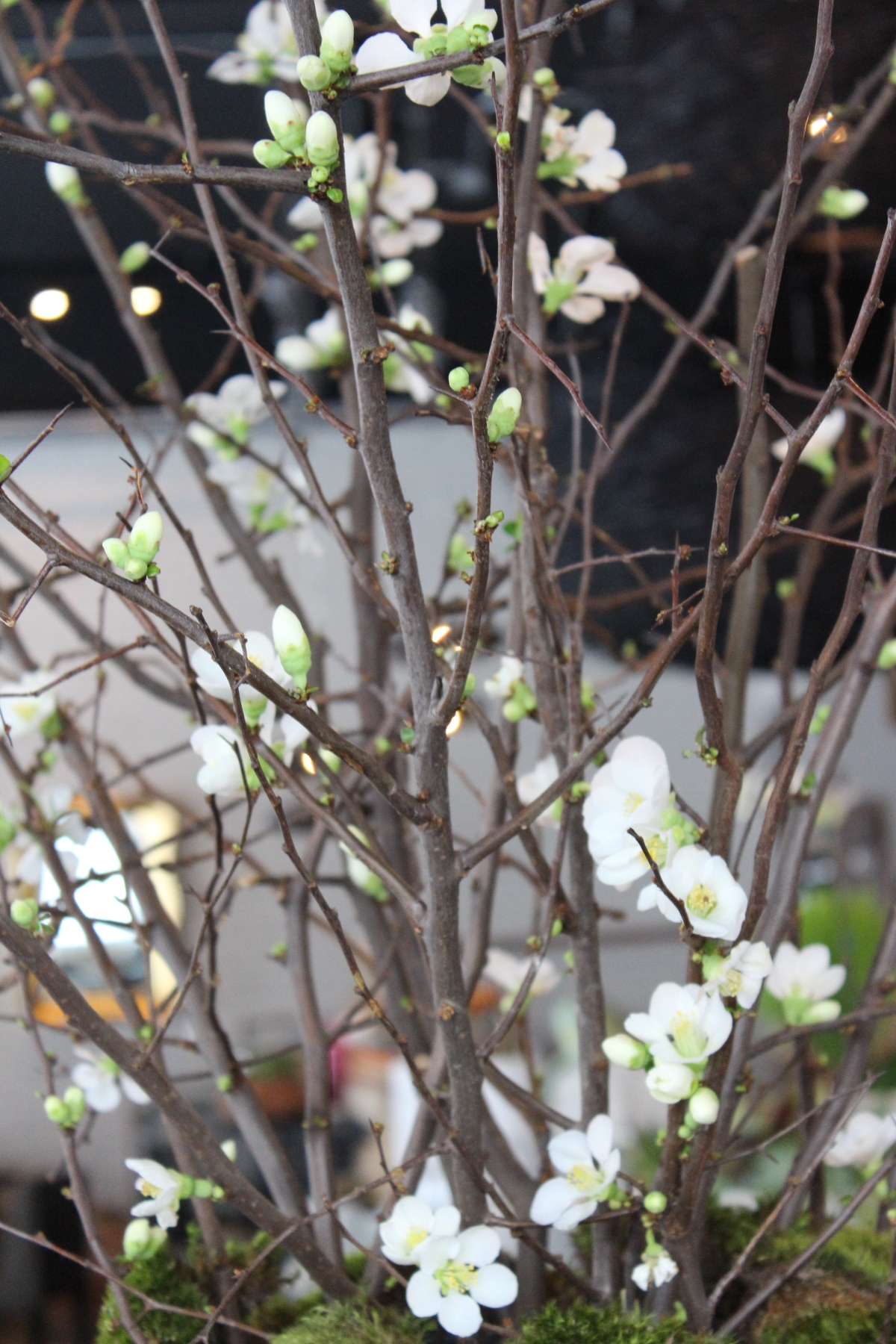 quince early white 4 jan2015