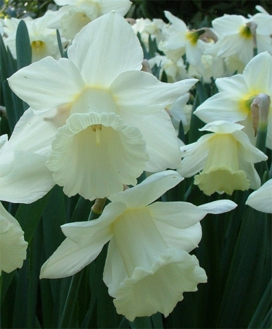 narcissus-mount-hood-blossoms-1