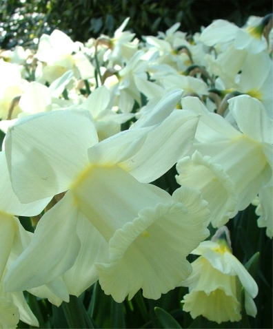 narcissus-mount-hood-blossoms-2