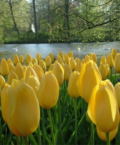 tulip-big-smile-1