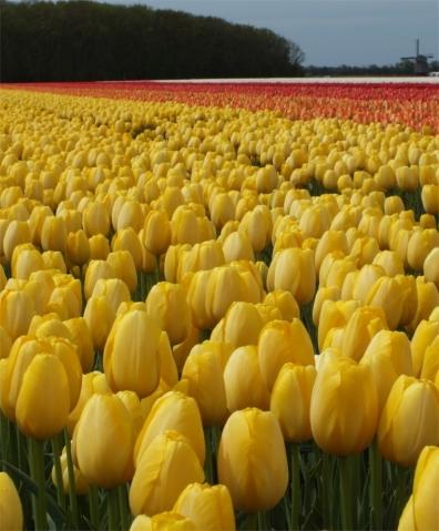tulip-golden-prince-claus-1