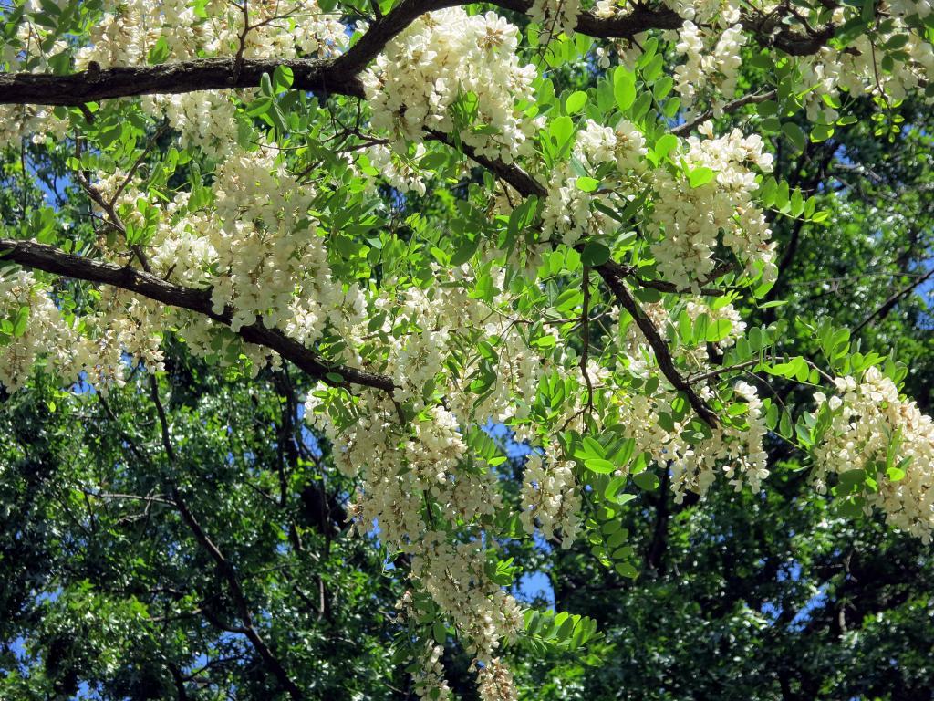 black locust under tree.jpg
