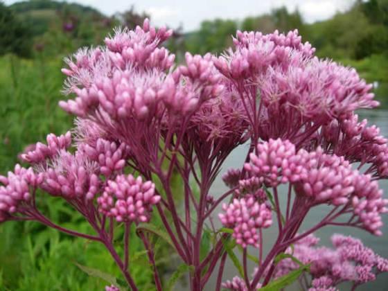 eupatorium-maculatum-joe-pye-weed-closeup