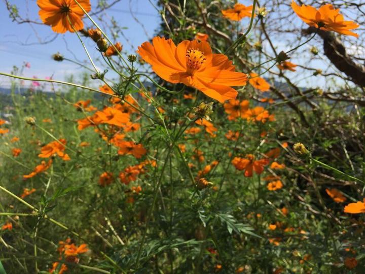 orange-cosmos-field_full_width.jpg