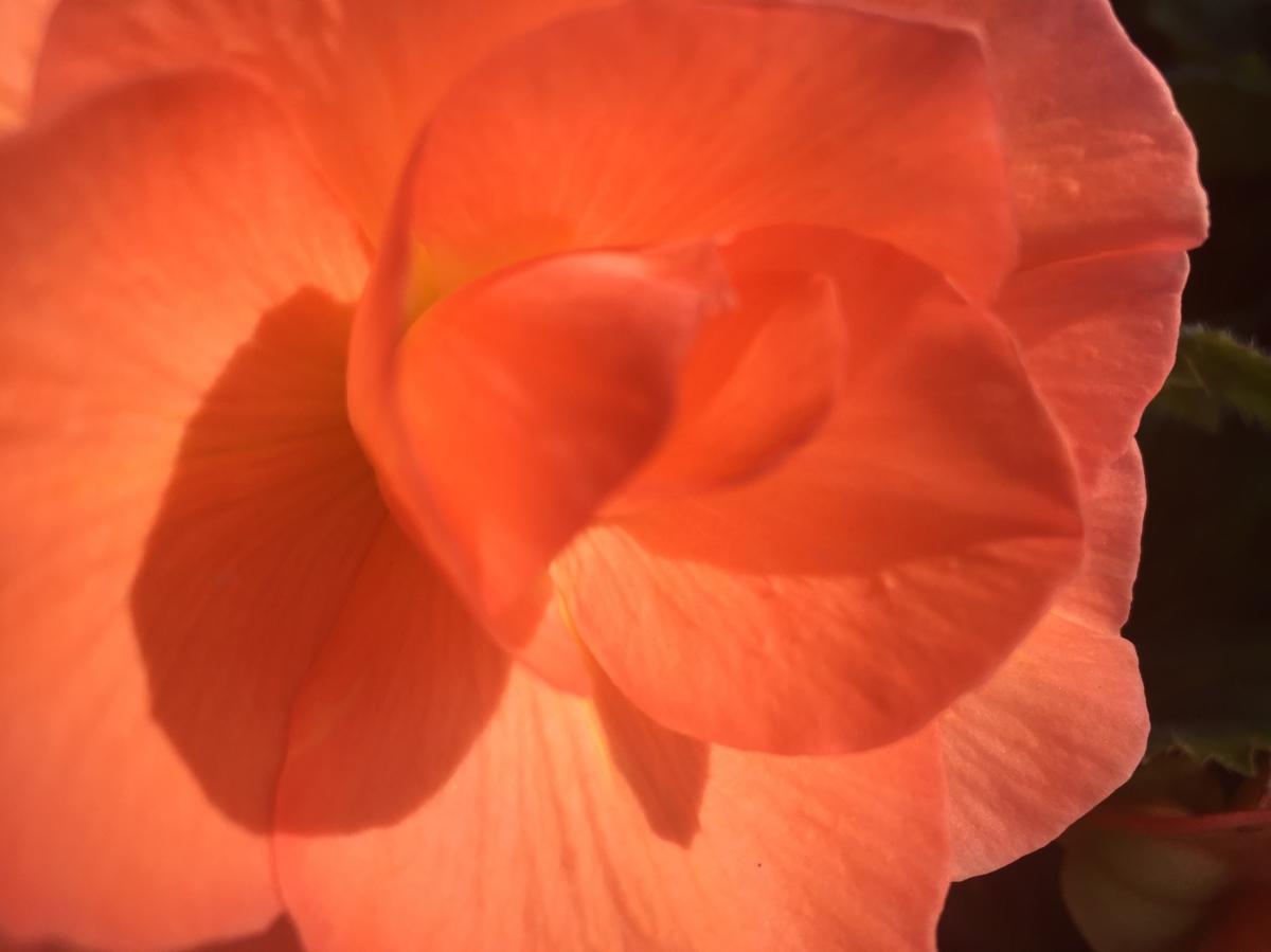 begonias 8