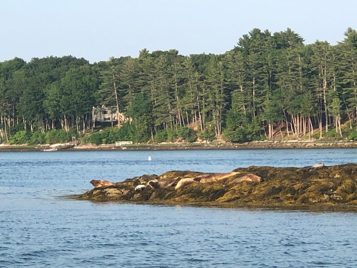 damariscotta river cruise 13 seals-070218