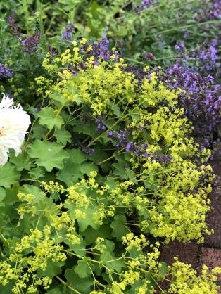 whitehall-ladies mantle + purples