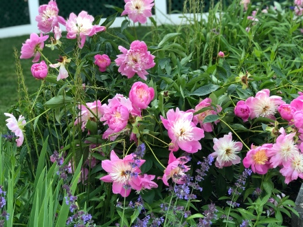 whitehall-pink peonies